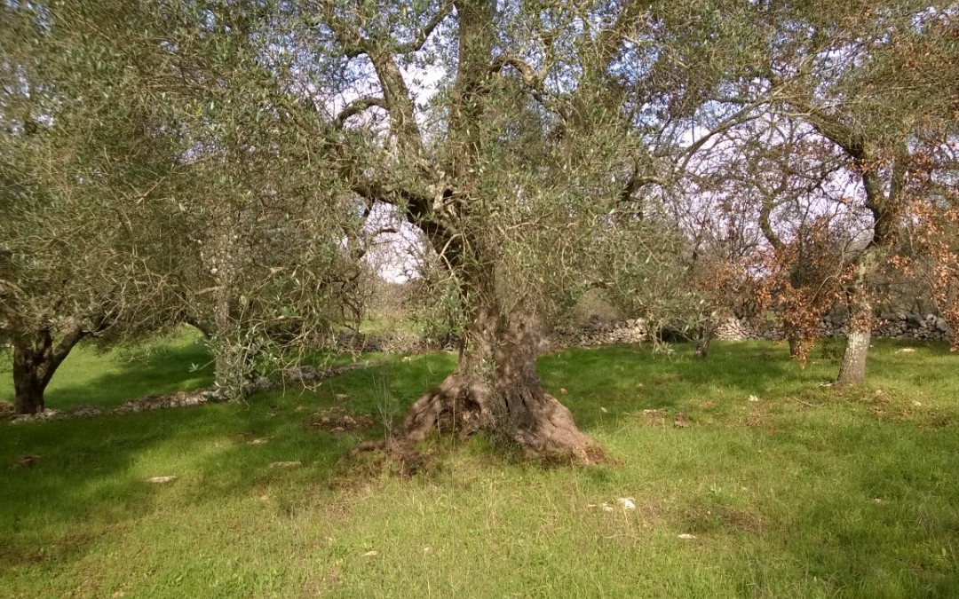 Olive harvest is approaching